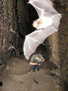 Chauves-souris en gros plan dans la grotte Dinguembou au Gabon