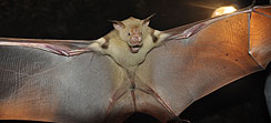 Bat with wide opened wings